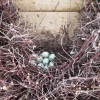 A duck has laid her eggs in the New Pond fence!