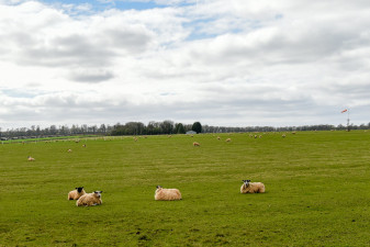 Sheep grazing at the Mitsubishi Motors Cup site of the event