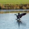 geese at Badminton lake