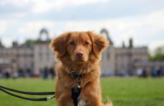 Tamzin Whitley Rumer, our Nova Scotia Duck Tolling Retriever in front of Badminton House last year. At just 10 months old, this was her first trip to Badminton