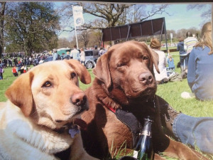 Sue Toone Rory and Honey. Both sadly gone now, but adored Badminton. Typical labs, they couldn't believe how many picnics there were to drool over in one place!