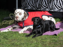 Jean Crespel Sleeping dogs at Badminton 2016