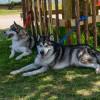 Huskies hitting the shade